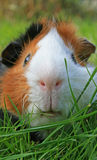 Guinea Pig Face stock photography