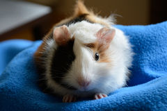 Guinea-Pig. Face of cute Guinea-Pig standing on blue blanket - closeup royalty free stock photo