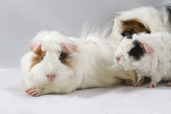 Guinea pig family. Peruvian  white guinea pig with baby Stock Photography