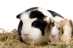Guinea pig family Stock Photography