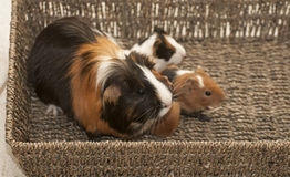 Guinea pig family Royalty Free Stock Photos