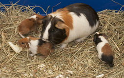 Guinea pig family Stock Images