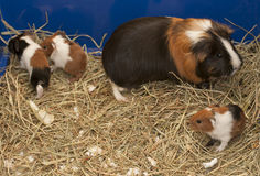 Guinea pig family Royalty Free Stock Images