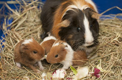 Guinea pig family Stock Photo