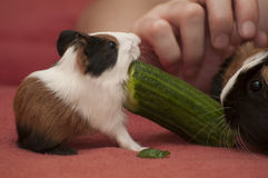 Guinea pig family Stock Photos