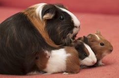Guinea pig family royalty free stock photo