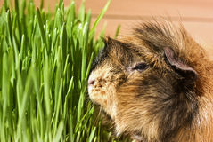 Guinea pig feeding Stock Photography
