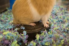 Guinea pig feet and claws. In a pet store cage royalty free stock image