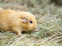 Guinea pig find food on grass space for text royalty free stock photo