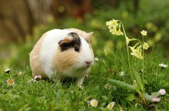 Guinea pig with flower Royalty Free Stock Photos