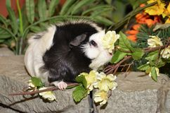 Guinea pig and flowers Stock Photo
