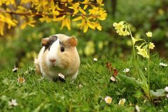 Guinea pig and flowers Stock Images
