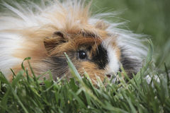 Guinea pig. Free in the grass Stock Images