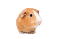Guinea pig. In front of a white background stock photo