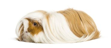 Guinea pig in front of white background. Isolated on white stock image