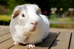 Guinea pig in garden. Curious guinea pig in the garden Royalty Free Stock Photo