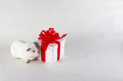 Guinea pig and gift Royalty Free Stock Image
