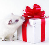 Guinea pig and gift Royalty Free Stock Photo