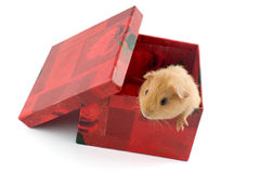 Guinea pig in a gift box. A small guinea pig looking out of a red gift box isolated on white with shadow Stock Photos