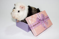 Guinea pig in the gift box Stock Images