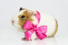 Guinea pig in a gift. Royalty Free Stock Photography
