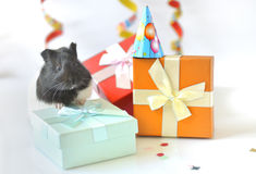 Guinea pig and gifts Stock Photos