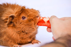 Guinea pig. A ginger guinea pig on a white background Royalty Free Stock Photo