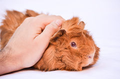 Guinea pig. A ginger guinea pig on a white background Stock Photography