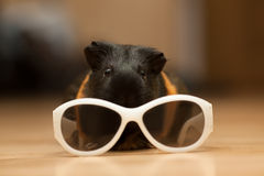 Guinea pig with glasses. Guinea pig with kid's sunglasses on the floor Royalty Free Stock Photos