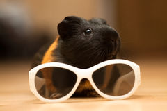 Guinea pig with glasses. Guinea pig with kid's sunglasses on the floor Stock Photos