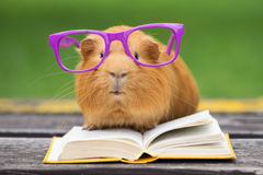 Guinea pig in glasses with a book outdoors. Adorable red guinea pig outdoors
