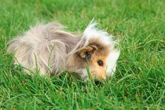 Guinea pig on grass Stock Image