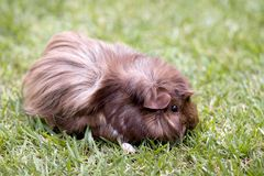 Guinea Pig on Grass. Side view of brown Guinea pig on grass.  Full side of body and paw shown Royalty Free Stock Photos