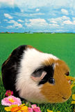 Guinea pig in the grass Stock Images