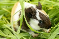Guinea pig in the grass, close-up Stock Photos