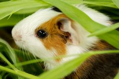 Guinea pig in the grass, close-up Royalty Free Stock Image