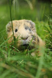 Guinea pig in grass Royalty Free Stock Image