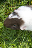 Guinea pig in the grass eating. Royalty Free Stock Photo