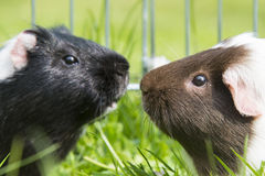 Guinea pig in the grass eating. Royalty Free Stock Image
