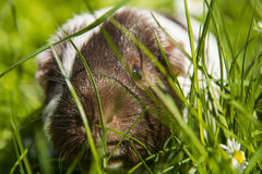Guinea pig in the grass eating. Royalty Free Stock Images