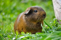 Guinea pig in grasses Stock Image