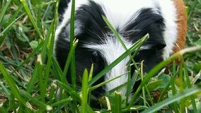 Guinea pig grazing Royalty Free Stock Photos