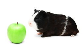 Guinea pig and green apple . Royalty Free Stock Photo