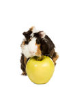 Guinea pig on a green apple Stock Images