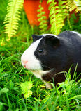 Guinea pig in green grass. Royalty Free Stock Images