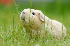 Guinea-pig. In the green grass Stock Image
