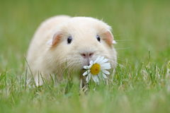Guinea-pig. In the green grass Royalty Free Stock Image