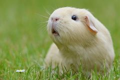 Guinea-pig. In the green grass Royalty Free Stock Photography