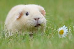 Guinea-pig. In the green grass Royalty Free Stock Images