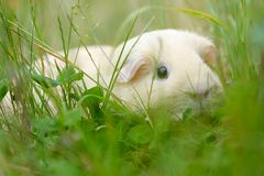 Guinea-pig. In the green grass Stock Photos